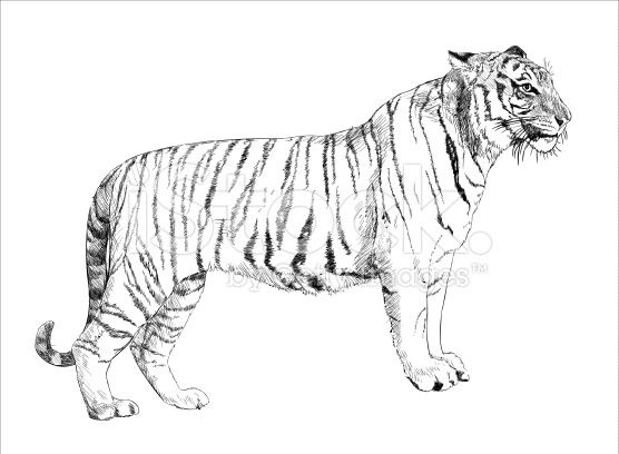 Tigre Sketch: White Tiger Hand Drawing Stock Vector Art 69511477