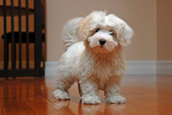 Cotonpoo Coton De Tulear Mixed With A Poodle Cute Small Dogs