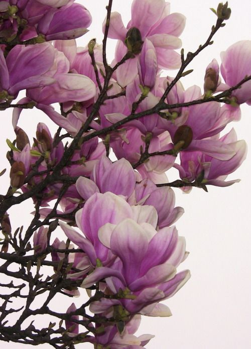 Pin By Pachinko On Flowers Flowers Nature Beautiful Flowers Magnolia Trees