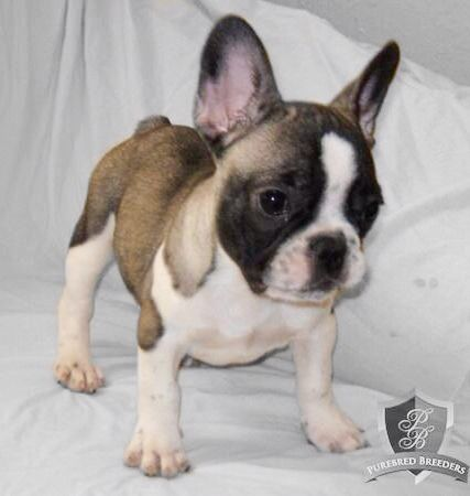 More On French Bulldog Black Mask Fawn In 2020 Cute Dogs