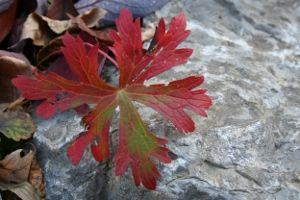 wild geranium's autumn leaf