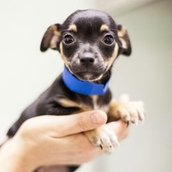 Adopt Hall On Cute Baby Animals Chihuahua Puppies Chihuahua