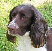 Magellan Is An Adoptable English Springer Spaniel Dog In Greensboro Nc Magellan Is A Classically Handsome Field Bre Spaniel Dog English Springer Spaniel Dogs