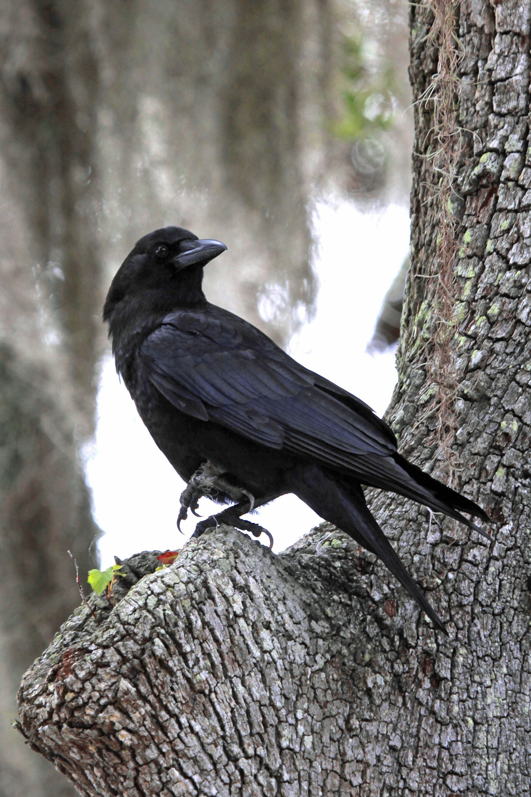 The American Crow was the 7th most spotted bird in the Atlantic