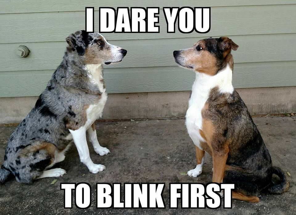 I Dare You To Blink First! #funnypets #dogs #thepetgal