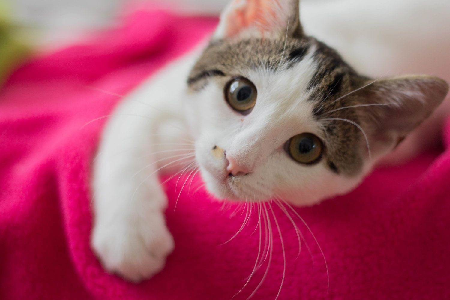 How Much Does A Cat Actually Cost Cat Adoption Tips Kitten Adoption Checklist How To Adopt A Cat Dallas Pets Kitten Adoption Cat Adoption Adopting A Child
