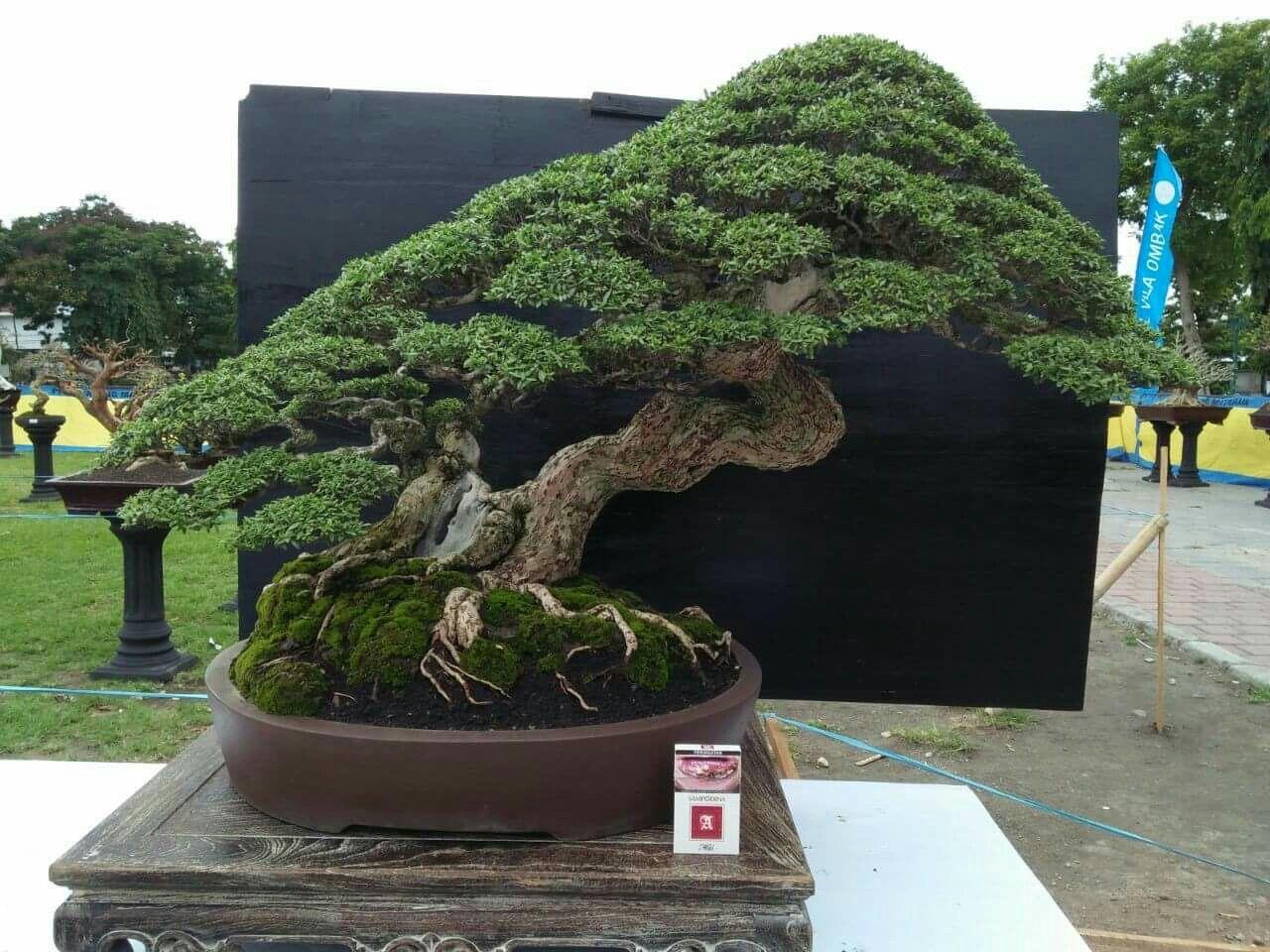 Huge Bonsai Love These Plants Bonsai Tree Bonsai Bonsai Pruning
