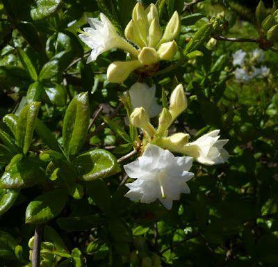 R. Whitethroat er løvfældende med smukke efterårsfarver og fine hvide duftende blomster.