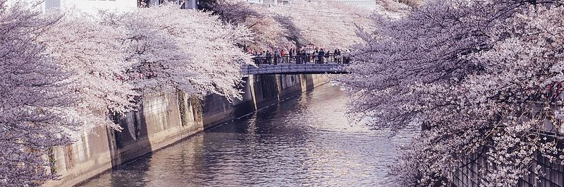 The Significance Of Cherry Blossoms In Japanese Art Culture Blossom Meaning Cherry Blossom Meaning Japanese Park