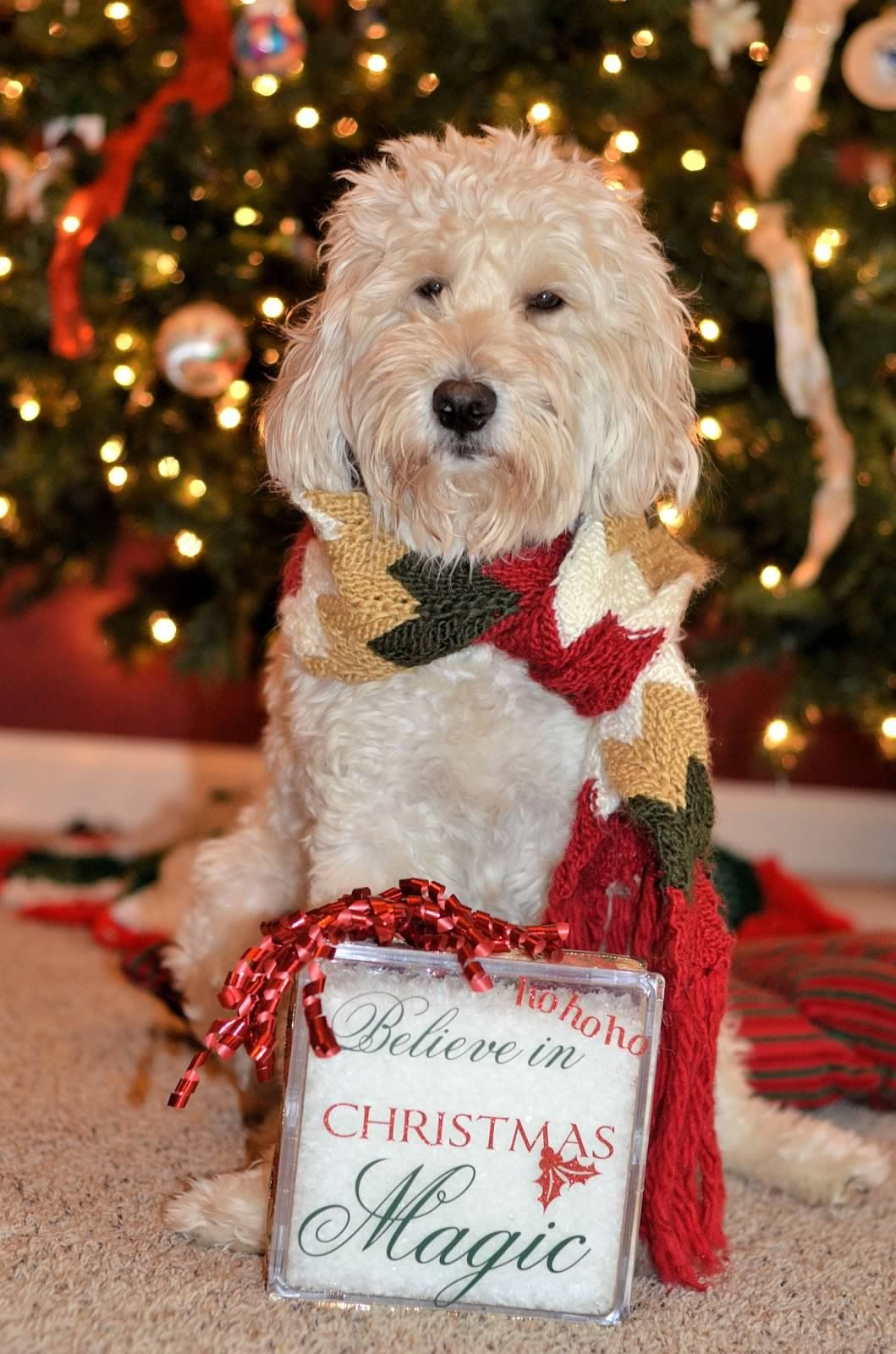 goldendoodle and christmas - Goldendoodle Christmas Decorations
