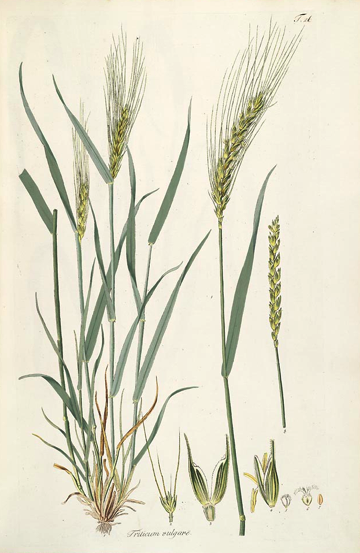 pictures of wheat plants results for yahoo image search results