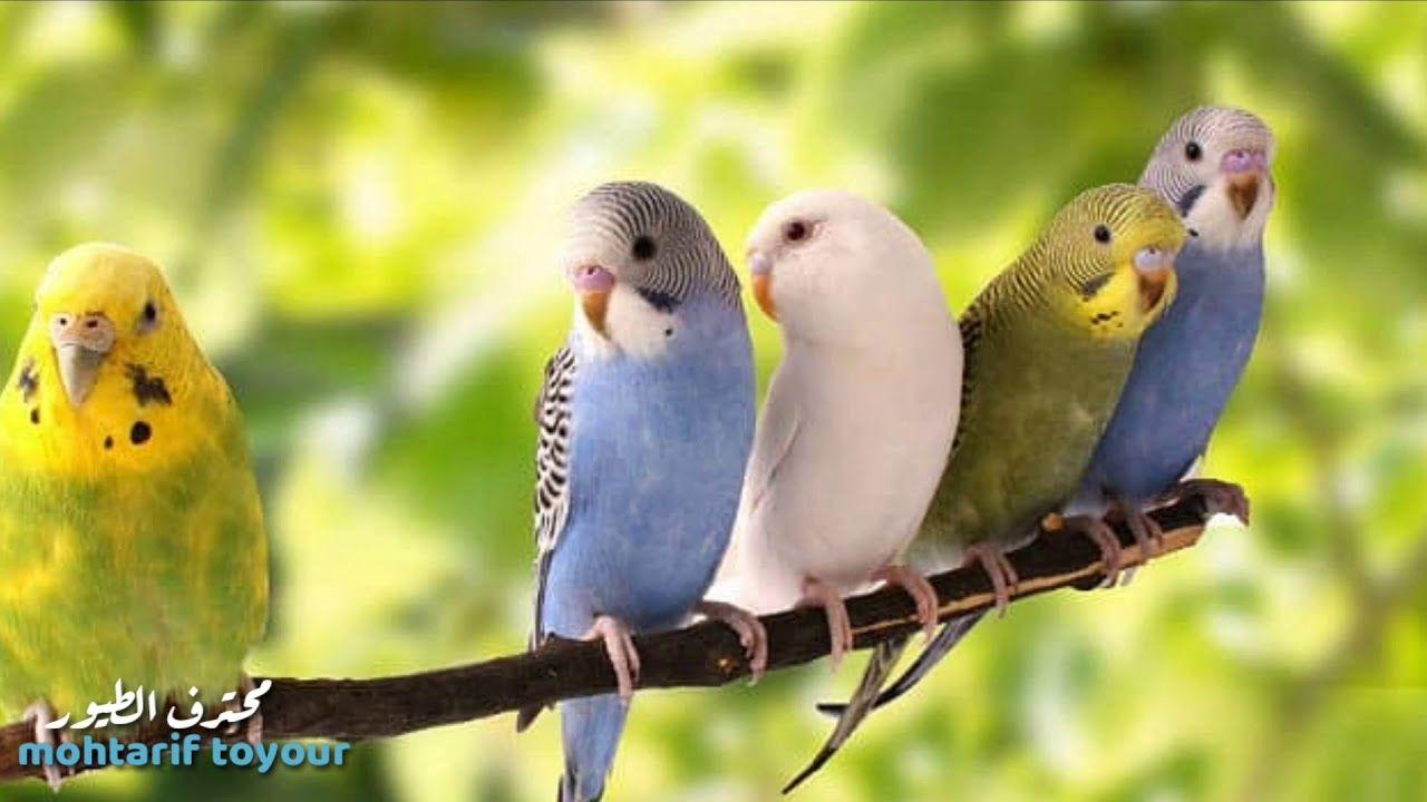 كيف تجعل البادجي صديقك و يحبك سلسلة تسألني عائلتي ال Animals Birds Parrot