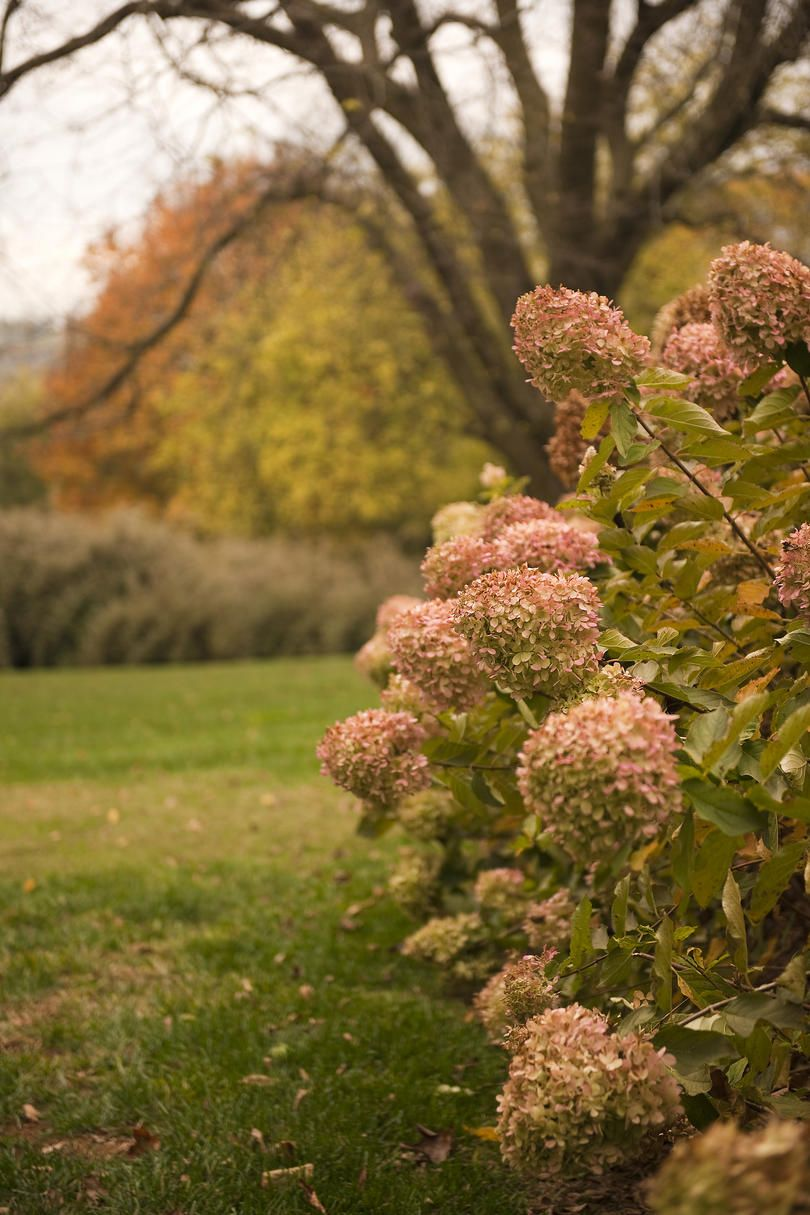 The Grumpy Gardener's Guide to Hydrangeas #autumnfoliage