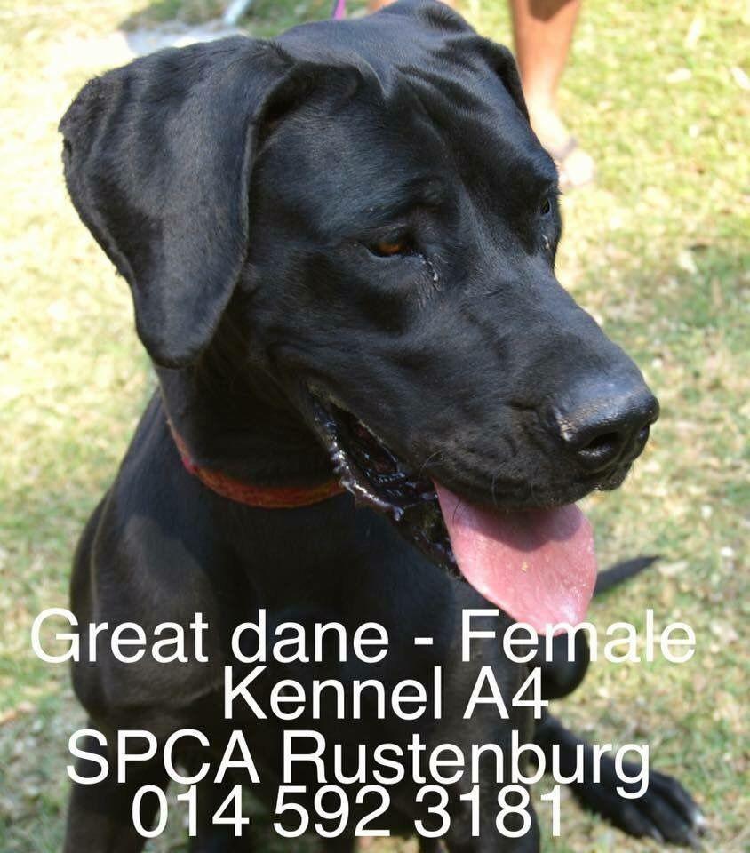 Pin By Louisa Oosthuizen On Great Dane Rescue South Africa Great Dane Rescue Great Dane Dane