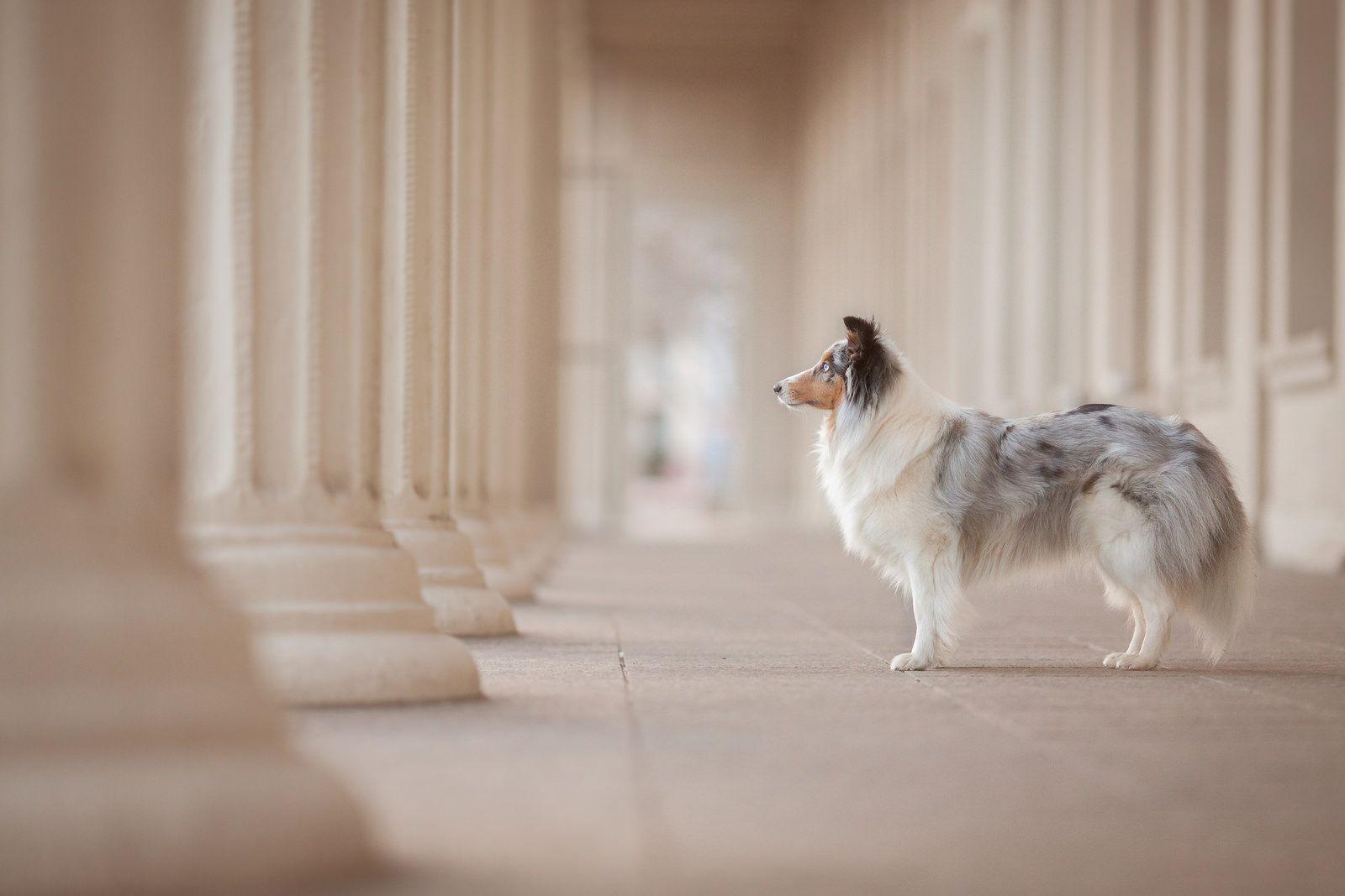 IMG_3167 Pet dogs, Sheltie, Dogs