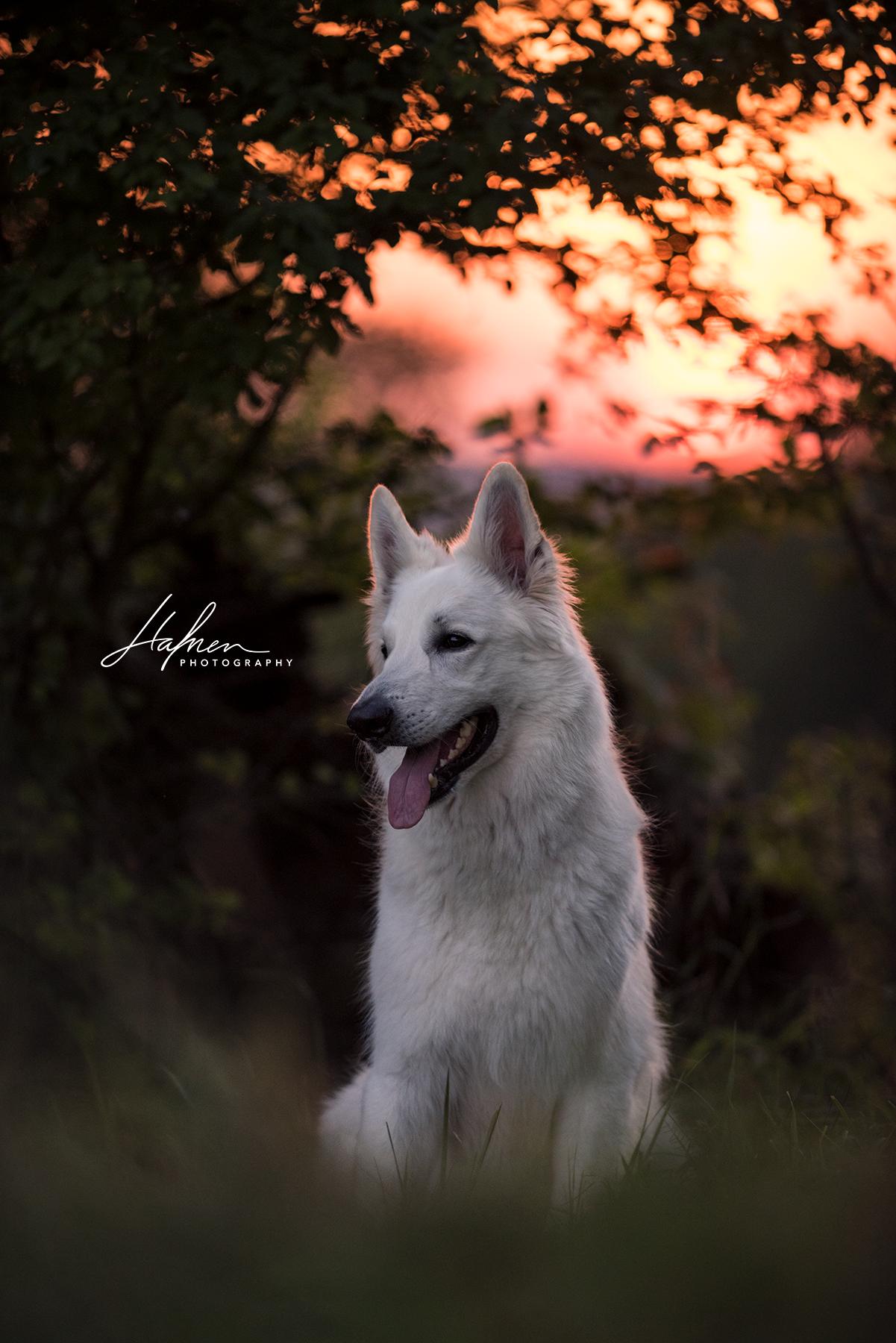 Weisser Schaferhund Im Sonnenuntergang Hund Bilder Foto