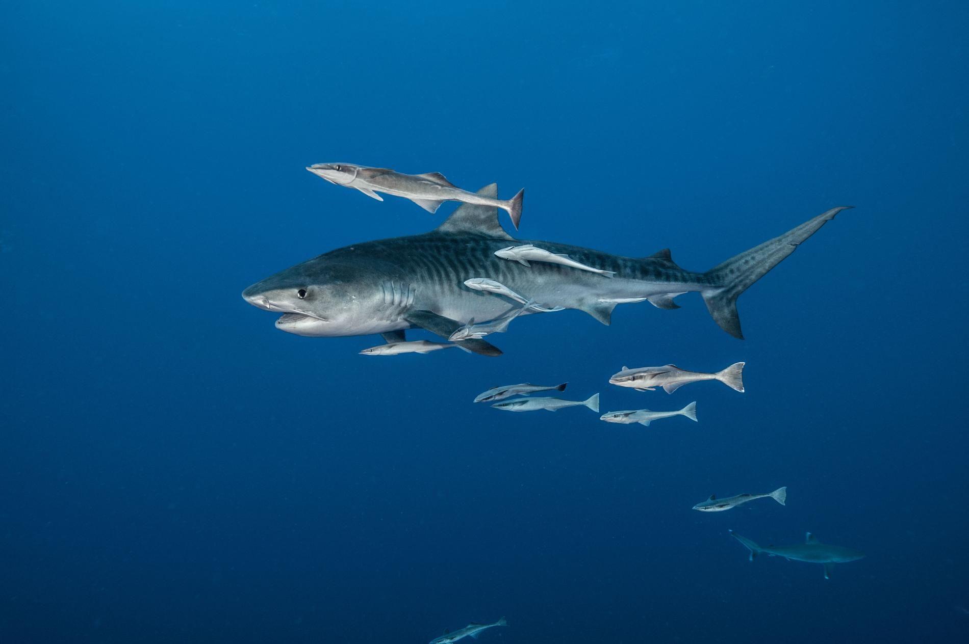 tiger shark facts about tiger shark