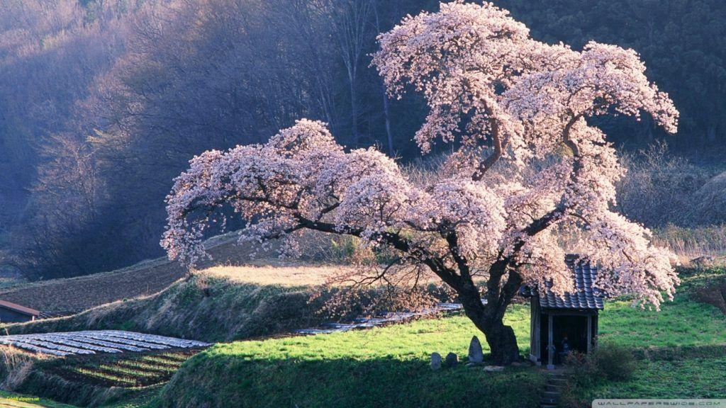 Japan Wallpapers Best Of Spring In Japan 4k Hd Desktop Wallpaper