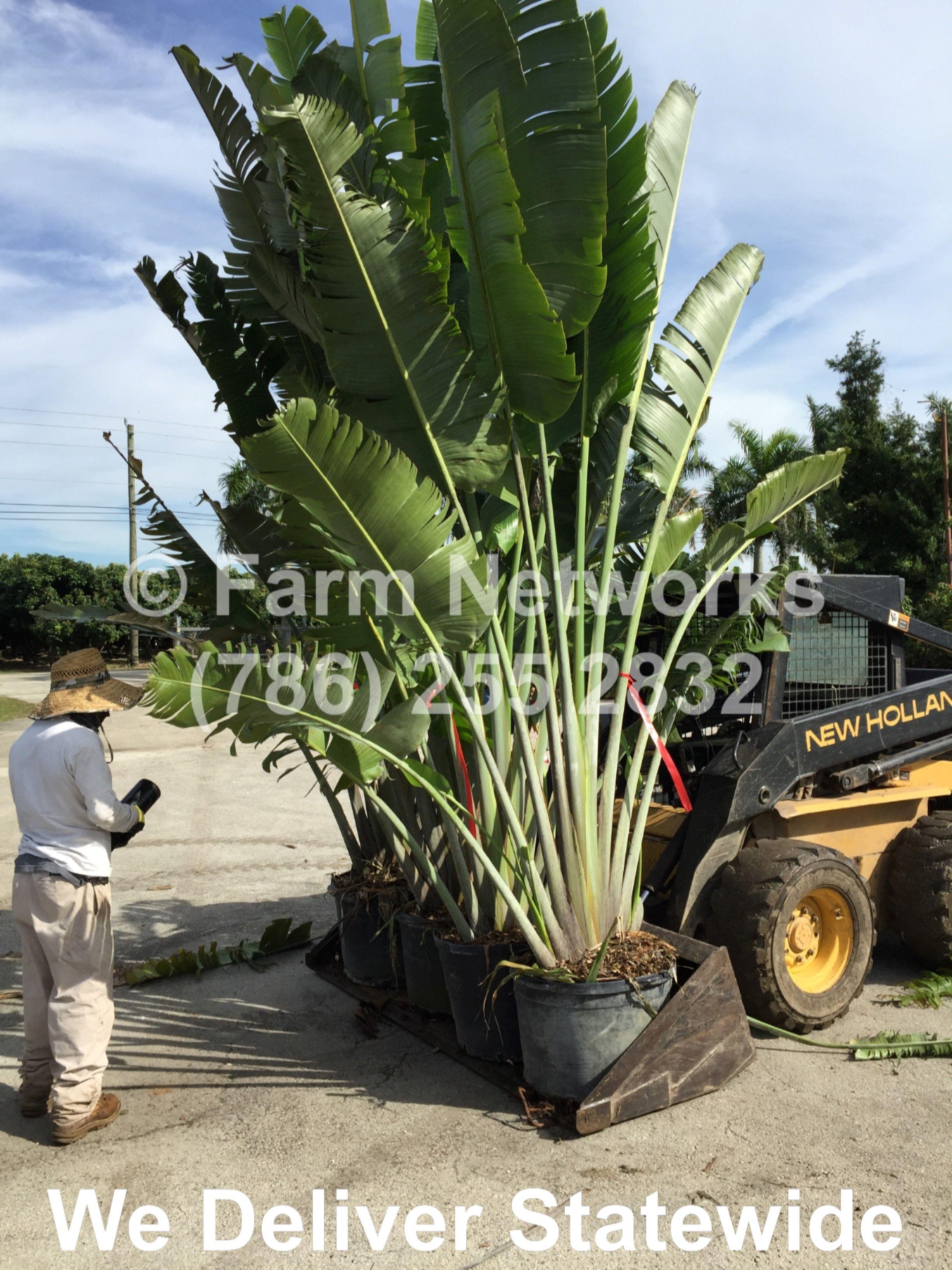 Traveler Palm Trees For Homestead Travellers Spring