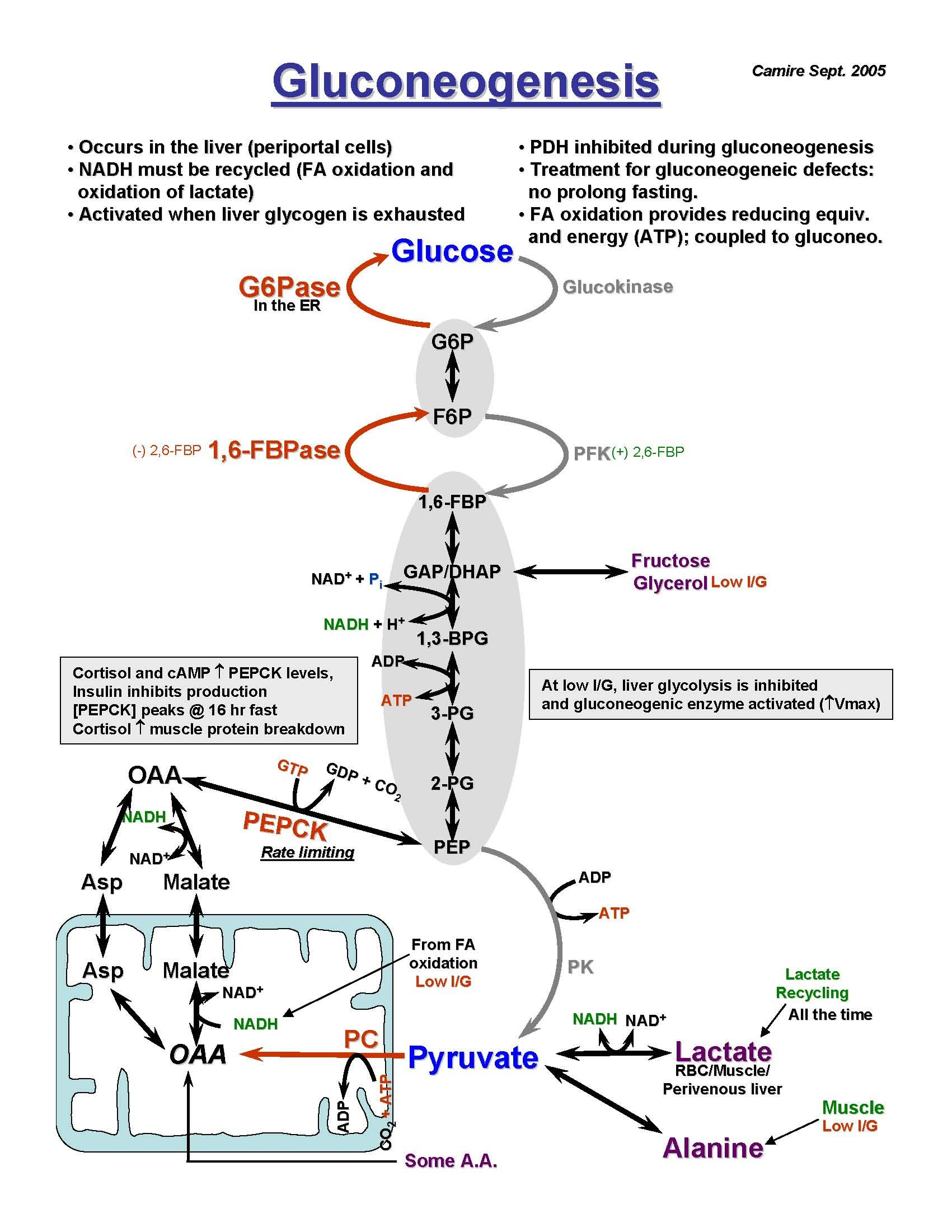 Gluconeogenesis Why Is This So Difficult For Me