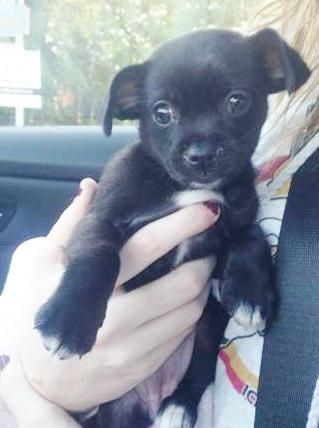 Adopt Itty Bitty Boo On French Bulldog Mix Pekingese
