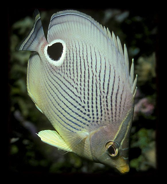 Butterflyfish Saltwater Fish Tanks Marine Fish Beautiful Sea Creatures