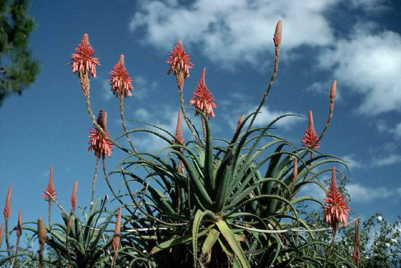 Candelabra Aloe Aloe Arborescens Native To Mountainous Ridges In Mozambique And South Africa Forms Loose Rosettes Wi Plantas Medicinales Plantas Suculentas