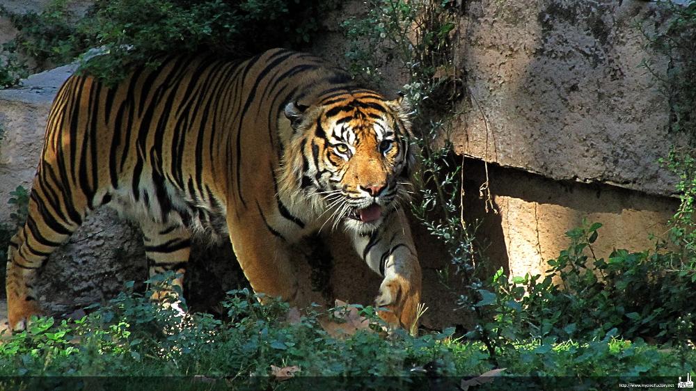 Download Wallpapers Download 1920x1080 1920x1080 Px Animals Feline Nature Tigers Wildlife Wallpaper Free Wallpapers Tiger Pictures Animals Wildlife Wallpaper