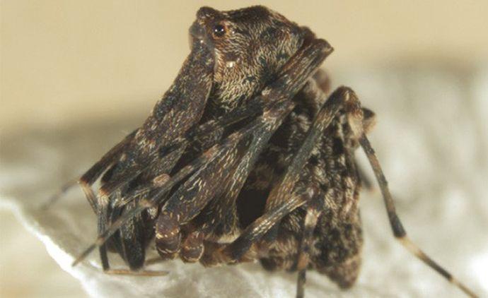 Austrarchaea griswoldi