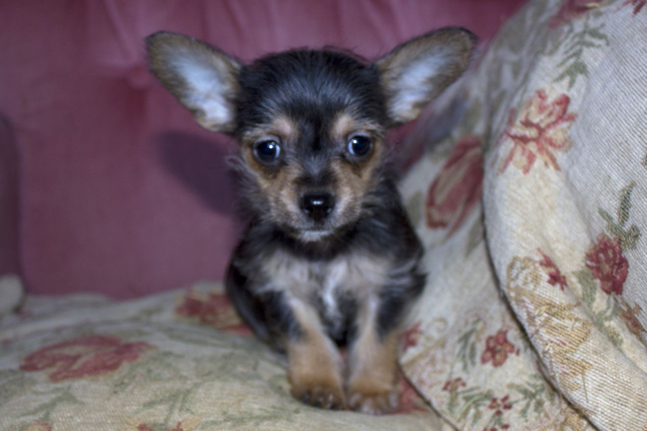 Two Chihuahua X Yorkshire Terrier Puppies For Sale Whitstable