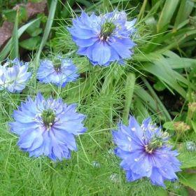 JUNGFRUN I DET GRÖNA 'Miss Jekyll' i gruppen Höstsådd / Ettåriga blomsterväxter hos Impecta Fröhandel (2275)