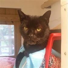 Bageera - Cat Rehoming & Adoption - Wood Green Animals Charity
