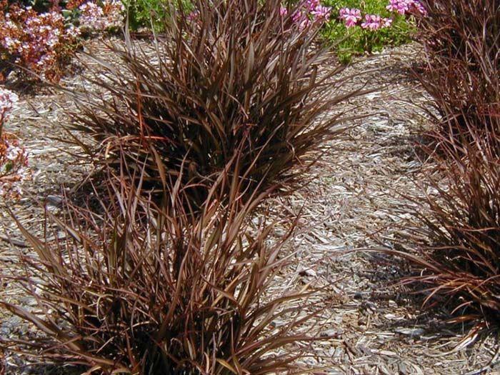 Plant Photo Of Phormium Tom Thumb Front Yard Plants Drought Tolerant Plants