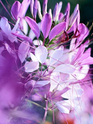 50 Re-Seeding Annual Flower Seeds Cleome Giant Queen Mix