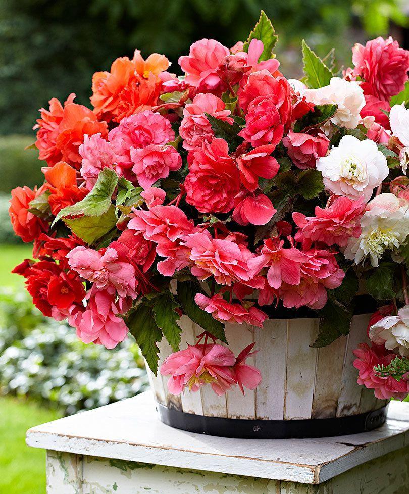 Double Orange Begonia Shade Loving Flowers Tuberous Begonia Begonia