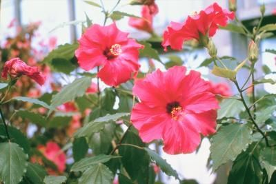 How To Make Hibiscus Juice Eats Hibiscus Plant Hibiscus Tea