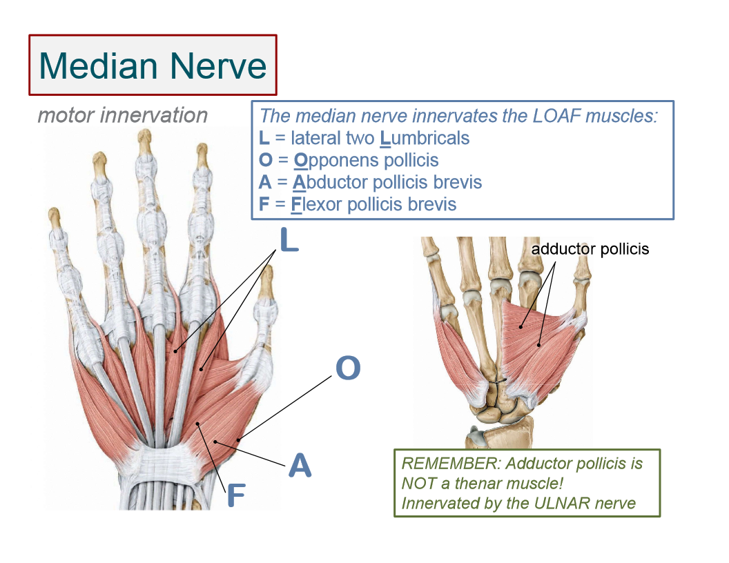 Image result for hand muscle innervation | Educational Pics | Pinterest