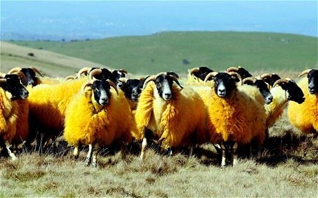 How would you like to spend some time between incredible orange sheep? The idea behind this colouring is to stop thieves from stealing his flocks.