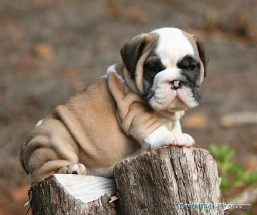 Cute Little Bulldog Puppies For Sale Free Classified Ad