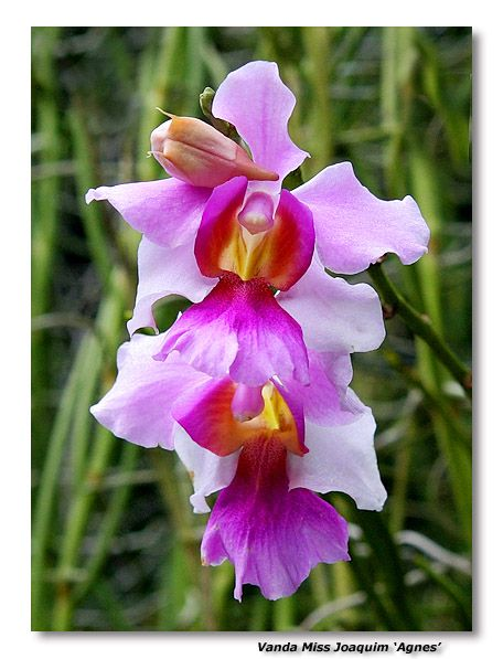 Vanda Miss Joaquim Orchid Flower Beautiful Orchids Vanda Orchids