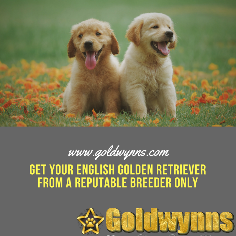 Since A Lot Of People Yearn To Have English Golden Retrievers At Their Home Many Dog Breed Golden Retriever English Golden Retrievers Golden Retriever Breeder