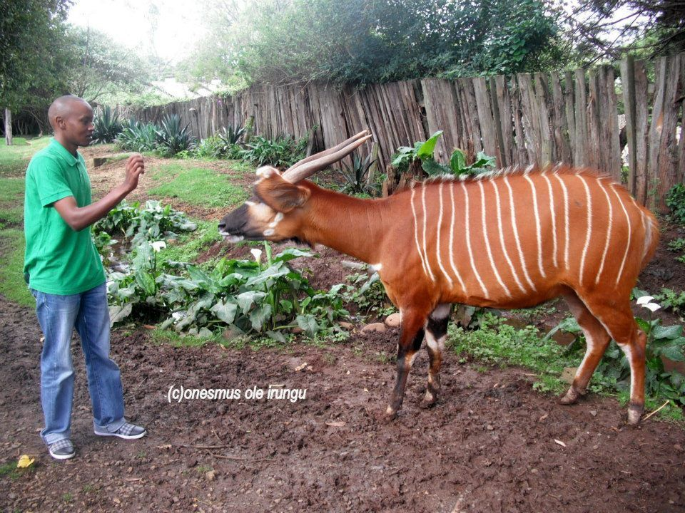 Feeding the Almost Extinct Mountain Bongo at the William