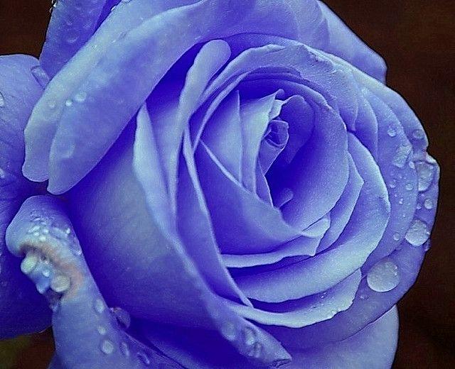 Celestial Rose Rose Rose Flower Pictures Real Blue Roses