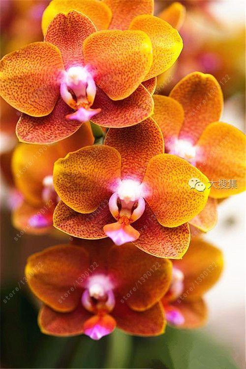 100pcs Cymbidium Orchid Cymbidium Seeds Bonsai Flower Seeds 22 Colors To Choose Plant For Home Garden Unusual Flowers Beautiful Orchids Cymbidium Orchids