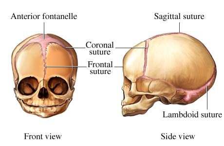 Picture of skull sutures in fetuses and infants | Anatomy | Pinterest