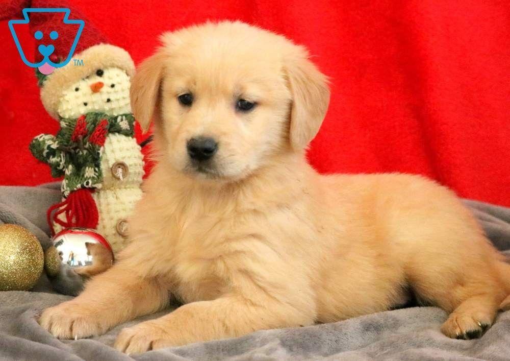 Lola Golden Retriever Puppy For Sale Keystone Puppies