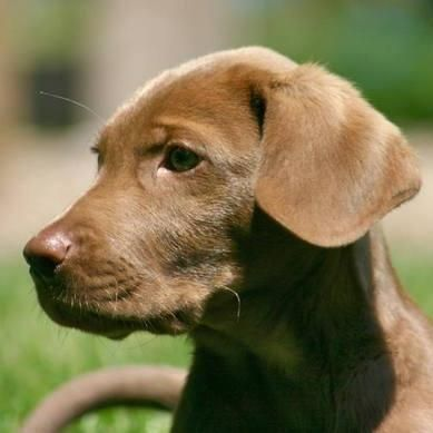 Yellow Lab And Weimaraner Mix Dog Pictures Blog Weimaraner Puppies Lab Mix Puppies Weimaraner