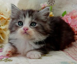 Napoleon Kittens For Sale Persian Kittens Saint Louis Munchkin