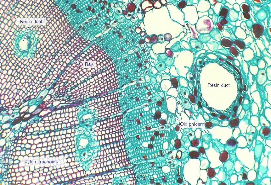 One-year-old pine stem (cross-section).   Things under a ...