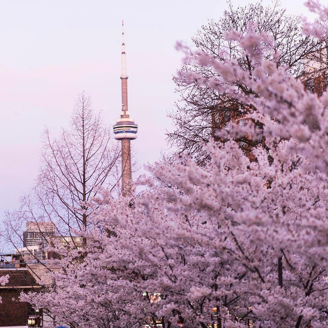 3 614 Likes 38 Comments Toronto Toronto Insta On Instagram Cherry Blossoms In Toronto Tag A Friend Toronto Photos Toronto Toronto Ontario Canada